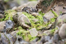 Green Algae On The Sea Rocks After A Powerful Storm