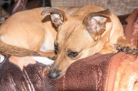 Young Dog - Cute Brown Puppy Sitting On A Couch