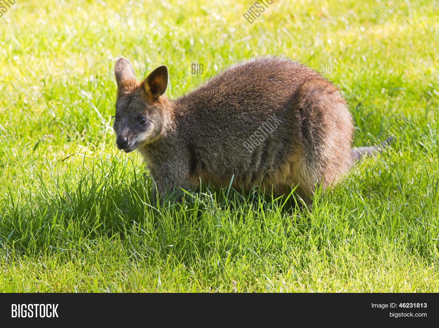 Swamp Black Wallaby Image Photo Free Trial Bigstock