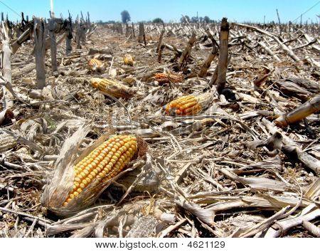 Corn Waste