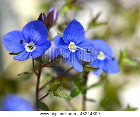 Wild forget-me flowers