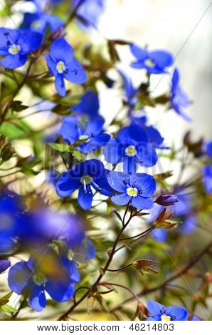 forget-me flowers