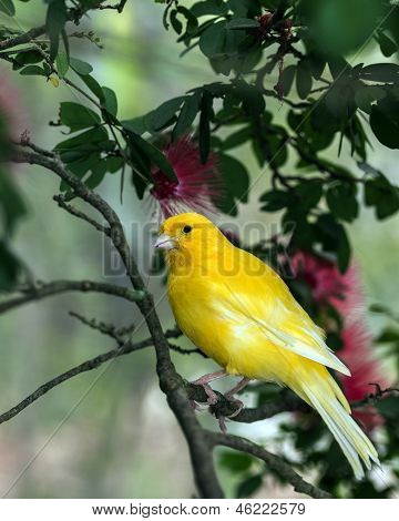 The Yellow Canary, (serinus Canaria Domestica