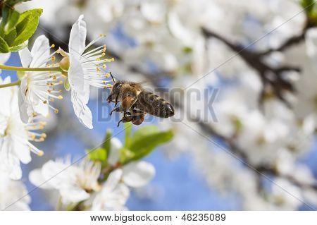 Honey Bee In Flight.