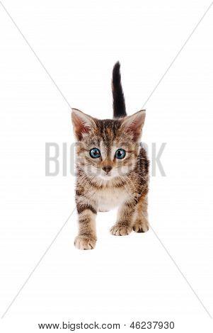Playful Striped Kitten With Blye Eyes