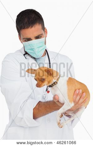 Vet in protective mask checking chihuahua on white background poster