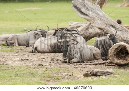 Wildebeest (connochaetes Gnou)