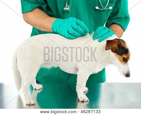 tick and flea prevention for a purebred jack russell dog poster