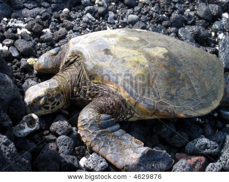 Green Sea Turtle On Rocks