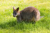 Cute Swamp- or Black Wallaby eating grass poster