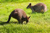 Swamp- or Black Wallabies eating grass in morning sunshine poster