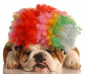 english bulldog with colorful clown wig isolated on white background poster