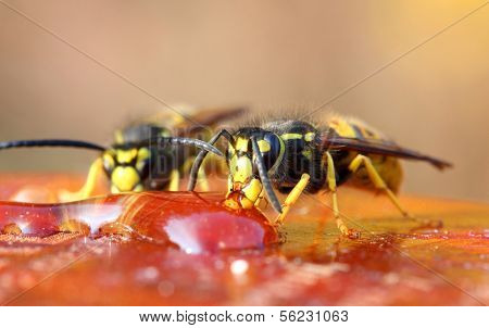 macro view on two wasp eating honey