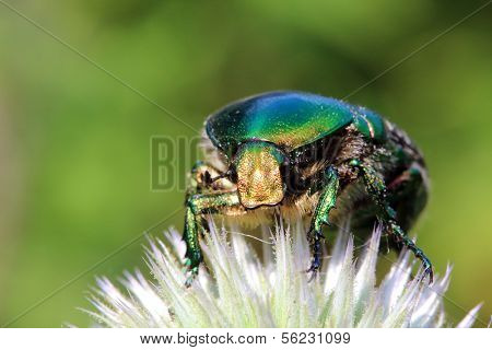 chafer beetle on flower macro - Cetonia aurata poster