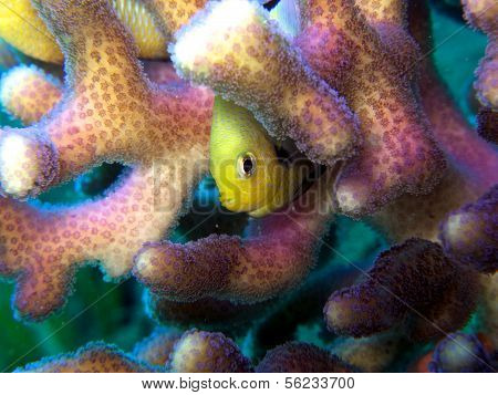 Yellow fish Hiding in pink and purple Coral poster