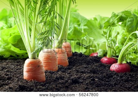 Vegetables growing in the garden