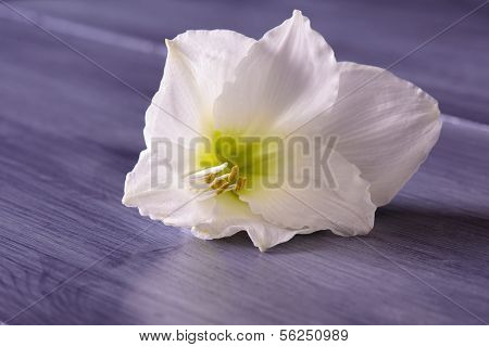 Closeup Of White Amaryllis Flower On Purple Table
