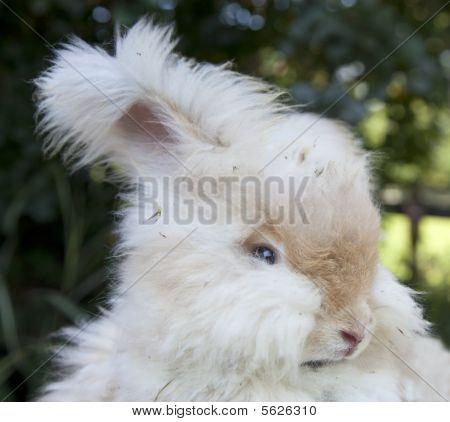 Head shot of white Angora rabbit