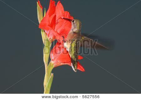 Hummingbird clinging to flower