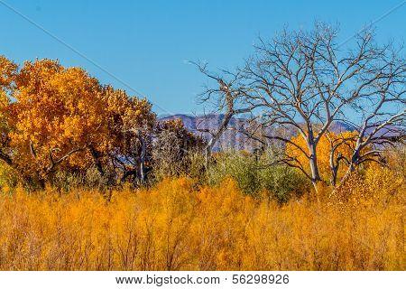 Beautiful Fall Foliage on Cottonwood Trees