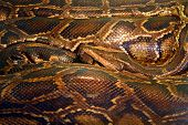 curled python - tropical snake poster