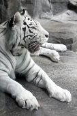 big tranquil white tiger lying on stone poster
