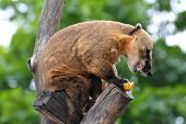 nasua coati eating banana on tree poster