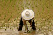 farmer in ricefield poster