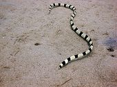 A banded snake eel on the sand poster