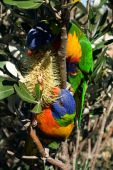 Colourful Rainbow Lorikeets eating the nectar from an Australian native flower poster