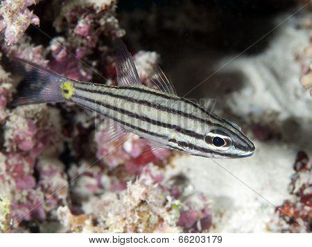 Fiveline Cardinalfish