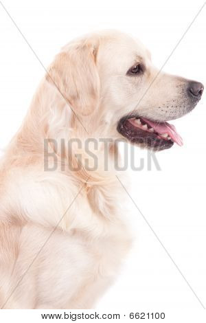 Golden Retriever Portrait - isolated on white poster