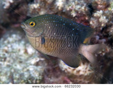 Jewel Damselfish