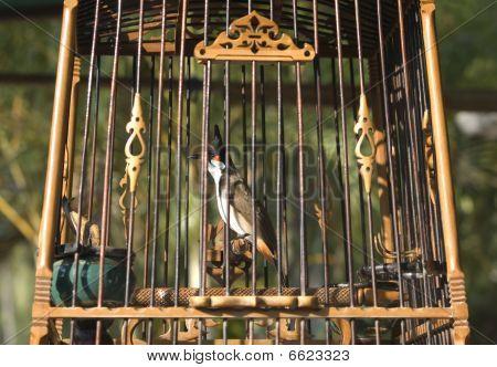 Crest lark in a wooden cage (Koh Samui, Thailand) poster