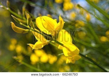 Closeup yellow flower latin name cytisus scoparius scotch broom poster