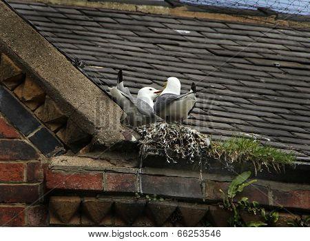 Gulls nesting on roof.
