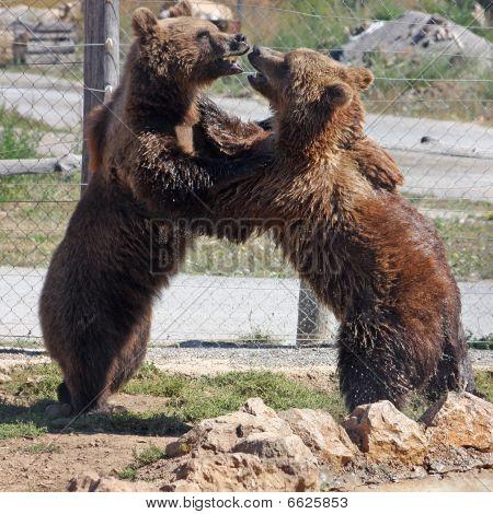 Plitvice brown bear