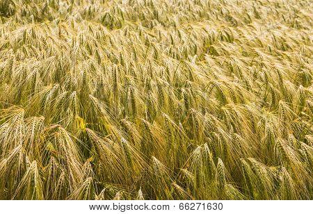 Closeup Of Ripening Barley