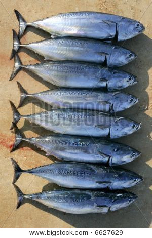 Auxis thazard fish in a row frigate tuna sport fishing catch poster
