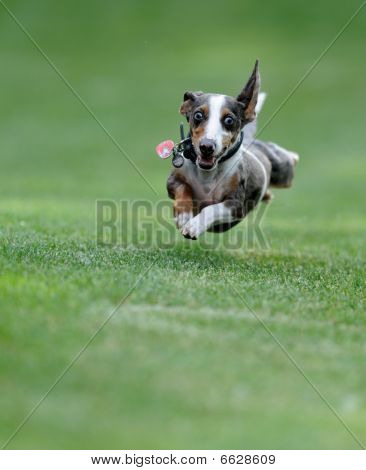 Dog in flight
