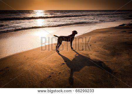 Dog at tropical beach under evening sun. India poster