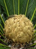 The heart of cycas palm with resting lizard poster