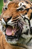 Tiger (Pantehra tigris) portrait poster