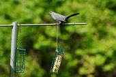 Grey Bird Sitting on a Backyard Bird Feeder poster