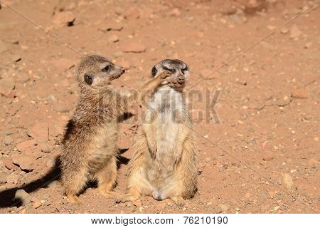 Two gopher