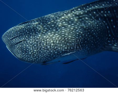 Whale Shark Close Up In Ocean, Thailand