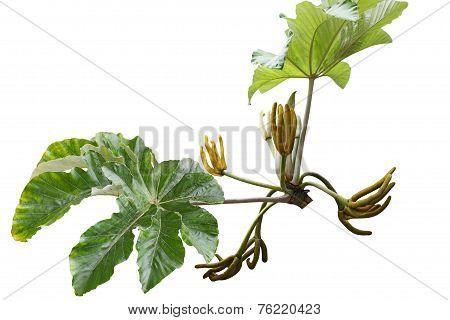 Cecropia Fruit