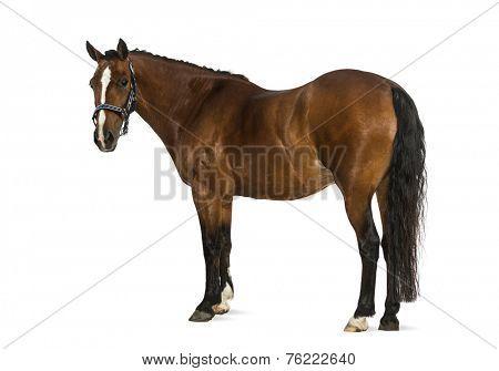 Welsh Pony - 17 years old, Equus ferus caballus