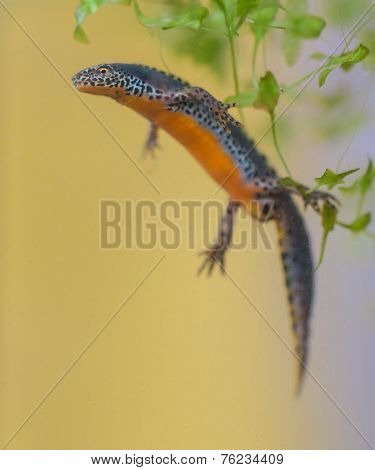 Submersed Alpine Newt In Water