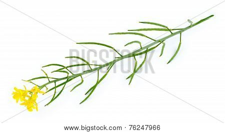 Isolated Macro Of Yellow And Green Mustard Plant And Flower On White
